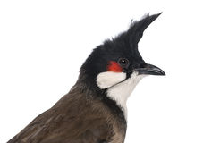 Close-up of a Red-whiskered Bulbul - Pycnonotus jocosus Royalty Free Stock Photo
