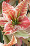 Close up of a red-whit coloured variety of the amaryllis flower Royalty Free Stock Images