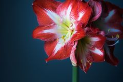 Close-up of red and white amaryllis in flowers against dark background stock image