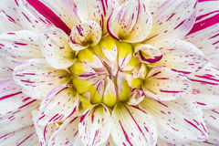 Close-up red white dahlia in bloom in a garden Stock Image