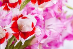 Close up red and white flower. Close up two color gladiolus flowers of red and white in front of pink flowers Stock Photography