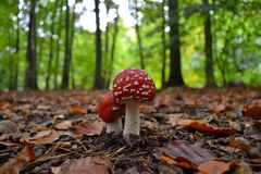 Close-up of red and white Fly Agaric mushrooms. On forest floor covered in leaves with pine trees in background Stock Photo