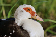 Close up of red white head of duck Stock Photography