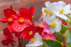Close up of red white and pink bedding plants Stock Image