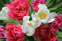 Close up of a red and white tulip bouquet Royalty Free Stock Images