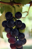 Close-up of red wine grapes in the vineyard Stock Photo