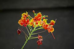 Close up red and yellow Caesalpinia flowers stock photos