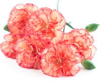 Close up of  carnations on white background. Royalty Free Stock Image