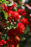 Close up of red and yellow lantana flowers. Close up detail of red and yellow lantana flowers royalty free stock image