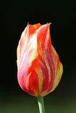 Close up of Red and Yellow Tulip Royalty Free Stock Photo
