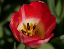 Close up of red and yellow Tulip / Tulipa flower in the spring with shallow depth of field. Close up of red and yellow Tulip / Tulipa flower in the spring with Royalty Free Stock Images