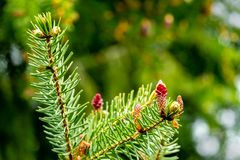 Close-up of red young pine cones on branches of Picea omorika on green bokeh background. Sunny day in spring garden. There is a place for your text. Nature royalty free stock photos