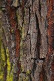 Close up redwood bark Royalty Free Stock Photos