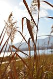 CLOSE-UP  REED GRASS AT SCENIC LAKE LANDSCAPE WITH SUNSET LIGHT. CLOSE-UP REED GRASS AT SCENIC LAKE LANDSCAPE WITH SUNSET LIGHT stock images