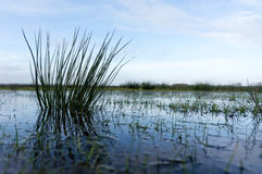 Close-up of reed Stock Photography