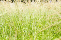 Close up of reeds field Royalty Free Stock Photo