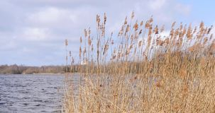 Close-up reeds in a lake moved by storm. Close-up of reeds growing in a lake moved by storm in late summer in The Netherlands stock video footage