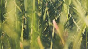 Close-up of reeds. Stock. Beautiful background of green reeds rustling in wind. Close - up of summer lush green. Vegetation. Warm sunlight illuminates green stock video footage