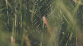 Close-up of reeds. Stock. Beautiful background of green reeds rustling in wind. Close - up of summer lush green. Vegetation stock footage