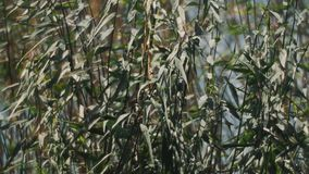 Close up of reeds swinging in wind in front of water of the lake stock footage