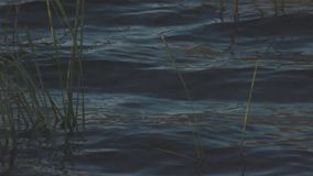 Close - up of reeds in water. Stock. Summer water blooms. Reeds fluctuate under influence of waves.  royalty free stock photos
