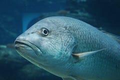 CLOSE UP OF REEF FISH IN AQUARIUM Royalty Free Stock Image