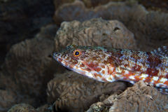 Close-up of a reef lizardfish (synodus variegatus). Stock Photography