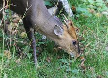 Reeves muntjac, Muntiacus reevesi Royalty Free Stock Photography