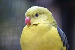 A regent parrot. This is a  close up of a regent parrot Stock Photo