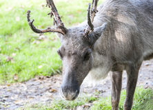 Close up of a reindeer Stock Image