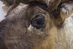 Close-up of a reindeer in the brown fur coat. Clever and watchful look of a deer. Portrait part. Concept environmental Royalty Free Stock Photos
