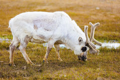 Close-up of reindeer eating at Svalbard stock photos