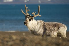 Close-up of reindeer on a shingle beach Stock Photography