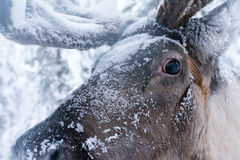 Close Up From Reindeer Royalty Free Stock Photos