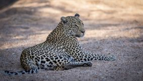 Close up of relaxed female leopard resting. Close up of relaxed female leopard resting in riverbed stock photo