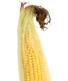 Close up of resh corn ear. Stock Images