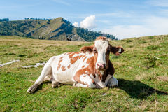 Close Up of a resting Cow Royalty Free Stock Image
