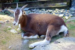 Close Up of a Resting Goat. A resting goat at a wildlife park in New Zealand Royalty Free Stock Image