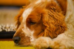 Resting welsh springer spaniel dog stock images