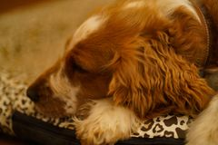 Resting welsh springer spaniel dog stock photography