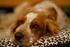 Resting welsh springer spaniel dog royalty free stock photography