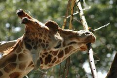 Close up of a reticulated giraffe eating. Head and neck portrait of a reticulated giraffe eating from a branch Stock Photos