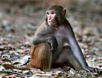 Close up of a rhesus monkey Stock Image