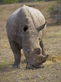 Close up Rhino Stock Photos