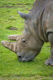 Close-up of a Rhino eating grass Royalty Free Stock Photos