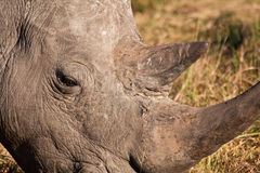 Close-up of rhino head Stock Photo