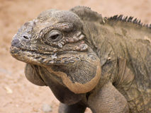 A Close Up of a Rhino Iguana Stock Image