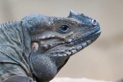 Rhino Iguana. Close up of a Rhino Iguana`s head Royalty Free Stock Photo