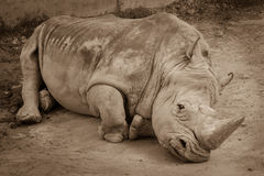 A close up of a rhino / rhinoceros laying on the ground in the zoo. Sepia photo of rhino resting on the sandy ground. stock photos