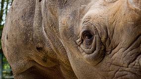 Close up of a Rhino Royalty Free Stock Image